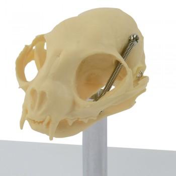 Model czaszki kota -...