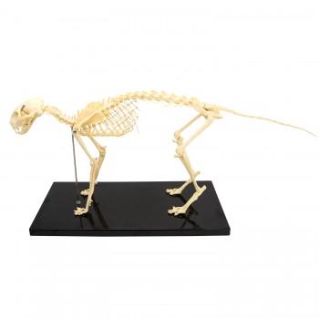 Model szkielet kota -...