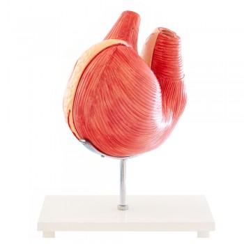 Model anatomiczny żołądka...