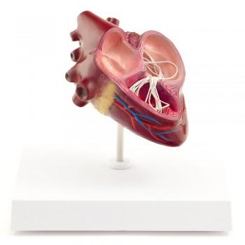 Model serce psa z robakiem...