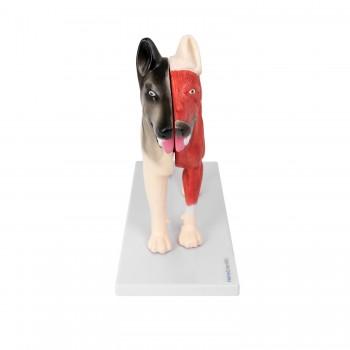 Model anatomiczny psa -...