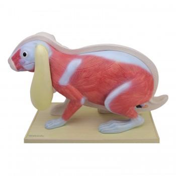 Model anatomiczny królika -...