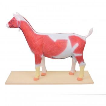 Model anatomiczny kozy -...