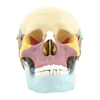 Kolorowy model czaszki...
