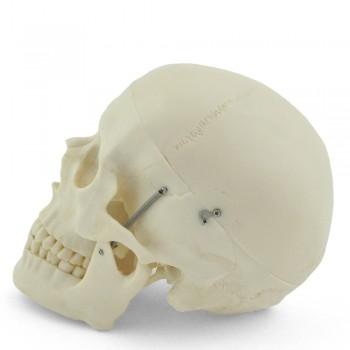 Model ludzkiej czaszki...