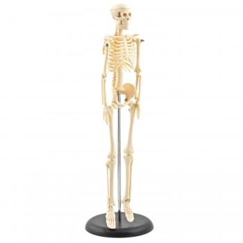 Mini szkielet HeineScientific