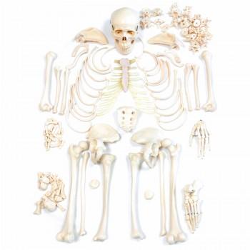 Model szkieletu...
