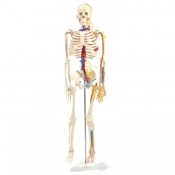 Anatomiczny szkielet...