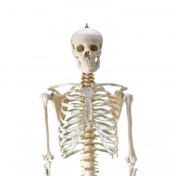 Szkielet ludzki...