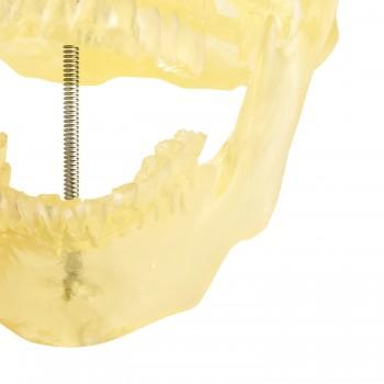Przezroczysty model czaszki...