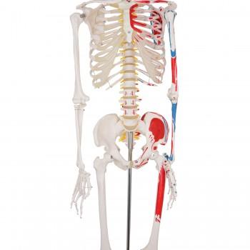 Model szkieletu naturalnej...