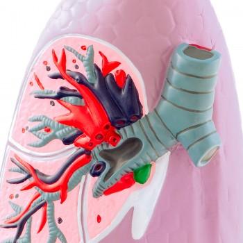 Model płuc HeineScientific
