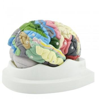 Model mózgu HeineScientific