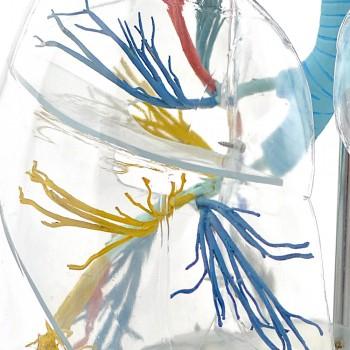 Przezroczysty model płuc...